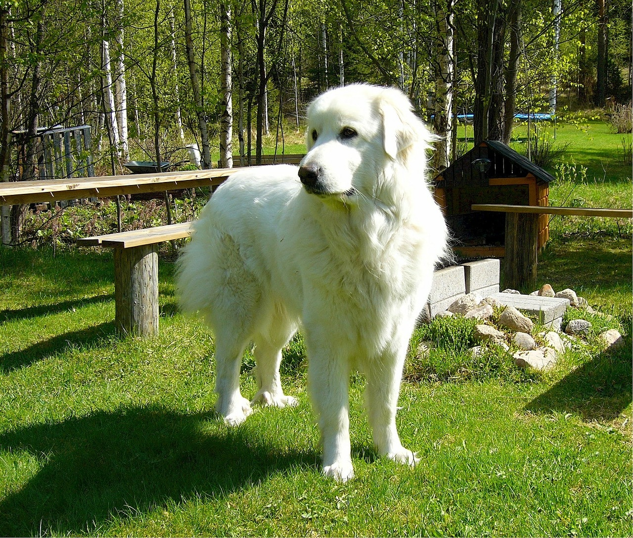 pyrenean mountain dog, great pyrenees, canine