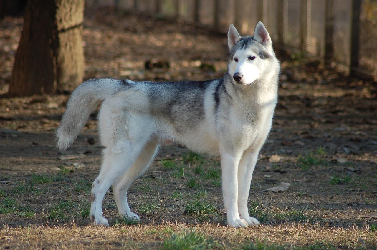 siberian husky, dog, animal