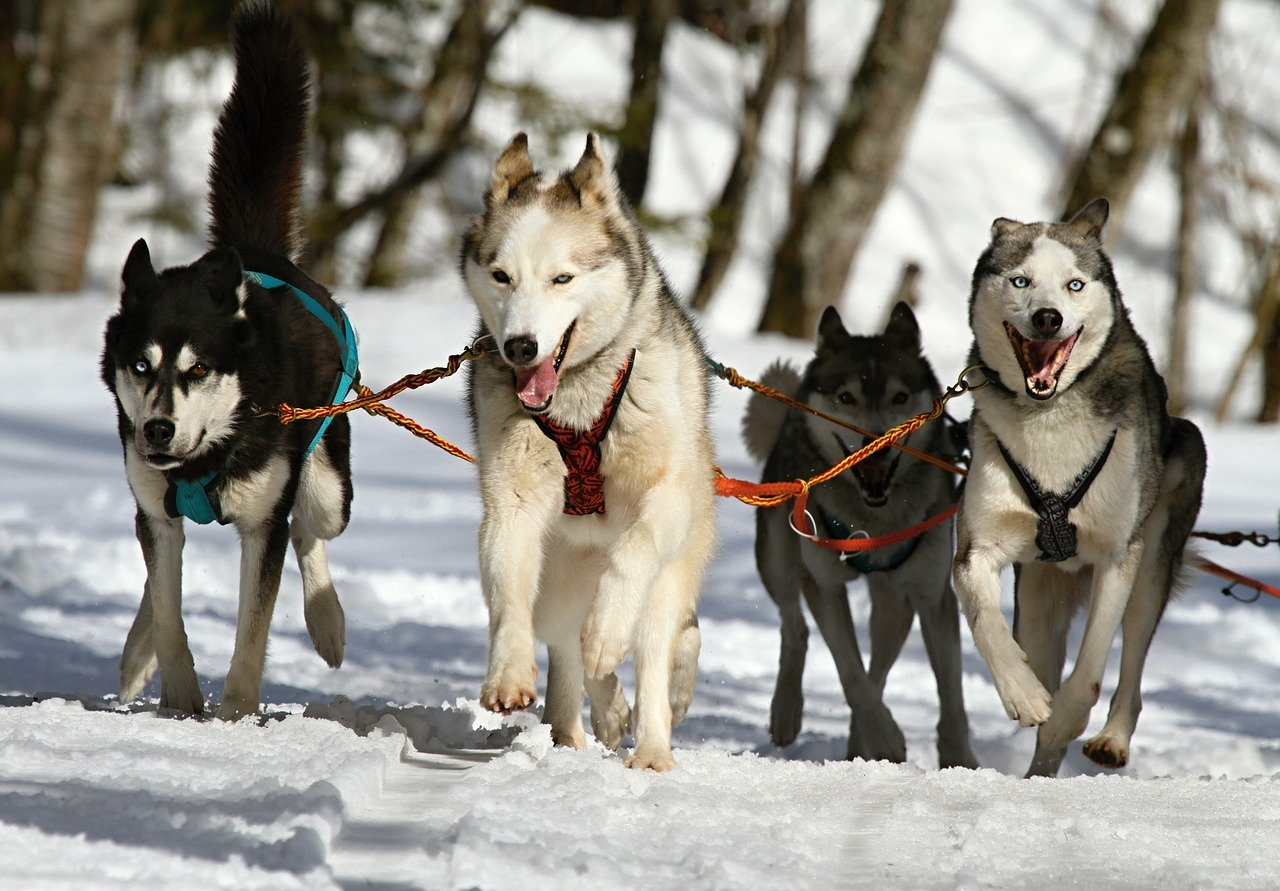 huskies, husky, dogs